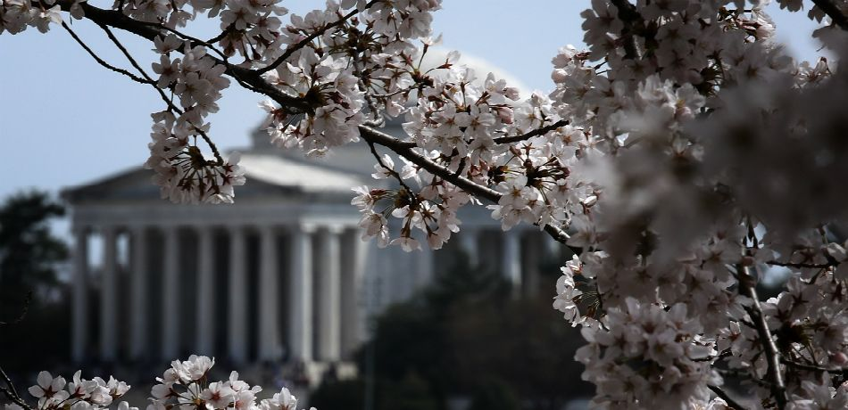 Cherry blossoms continue their annual blooming season along the Tidal Basin